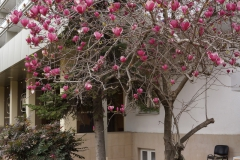 Весной цветет Магнолия суланжа