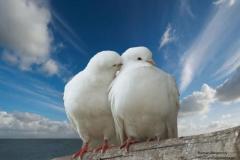 Влюбленные голуби-1