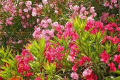 Вдоль дорог цветут олеандры