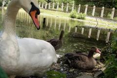 Лебеди в Сочи