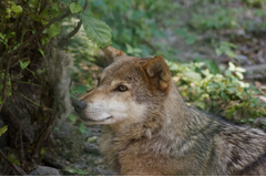 Волки в сочи
